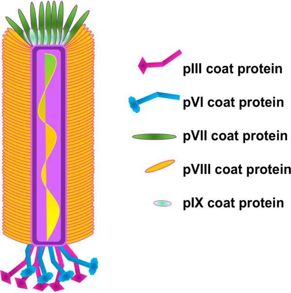 图5 m13丝状噬菌体衣壳的结构